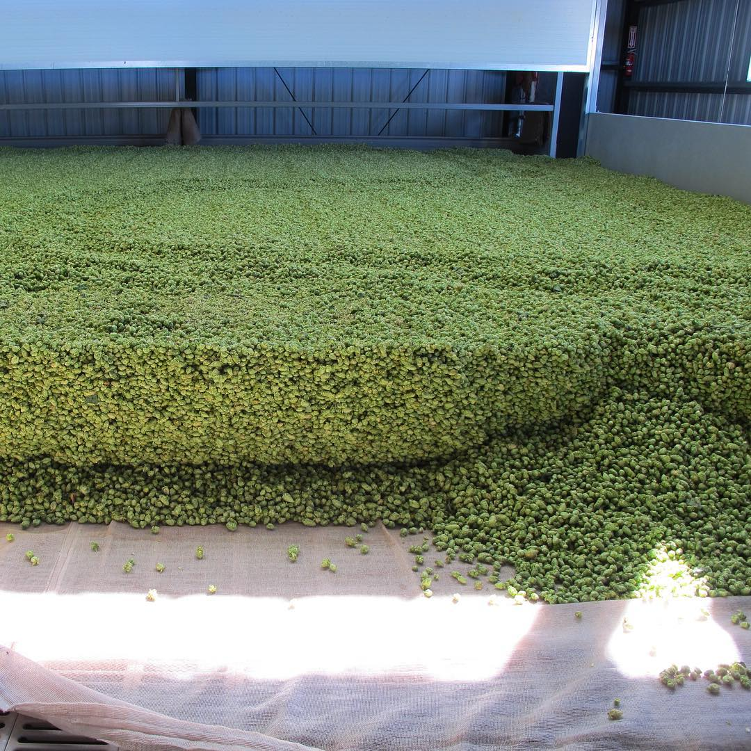 #tbt to that time I went to Yakima, WA, to learn how hops are harvested. I used some of what I learned to pass the Certified Cicerone exam. #mybeeryear #hops #hopharvest #hophead #yakima #hoppybeer #balebreaker #beer #ipa #cicerone #wabeer